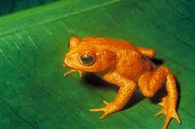 Golden-Toad
